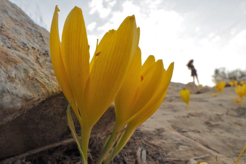 שדה בוקר-רכס בוקר-חלמוניות-טבע-טיול רגלי-אנשים-פרחים-קרדיט טל גליק
