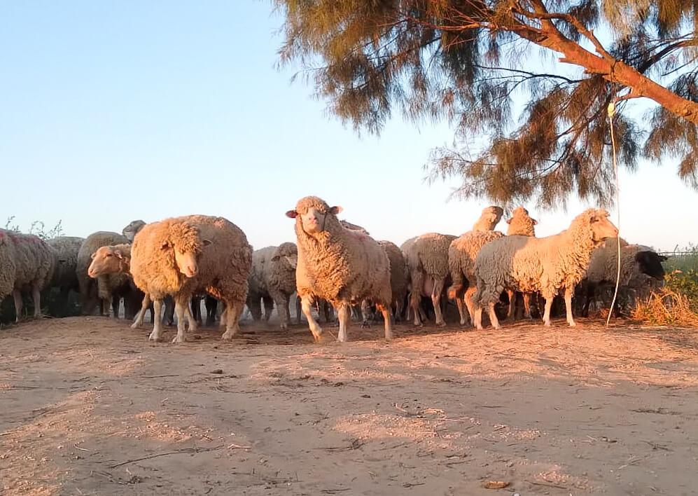 כבשים כמהין פתחת ניצנה. קרדיט לירן אלמוסנינו